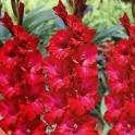 Gladiolus Partituur