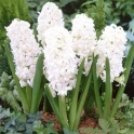 Hyacinth Snow Crystal