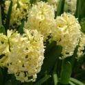 Hyacinth Yellow Stone