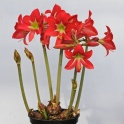 Amaryllis Striped Garden