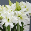 Amaryllis Ice Queen