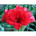 Amaryllis Double Dragon XL
