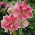 Amaryllis Sweet Nymph XL