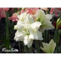 Amaryllis Snow White