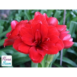 Amaryllis Double Dragon
