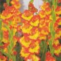 Gladiolus Margaret Rose